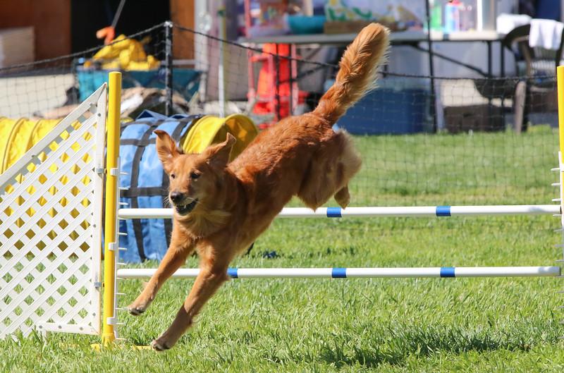 3-31-2018 Shetlant Sheepdog-3304.jpg
