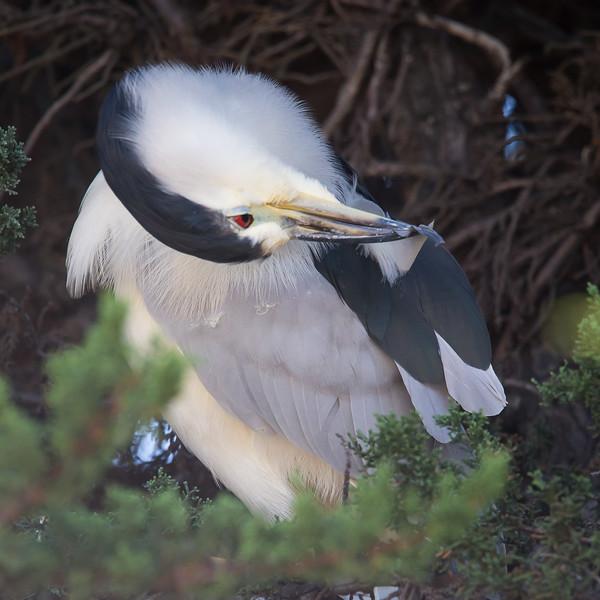 Pt Isabel Black-crowned Night-Heron-4297.jpg