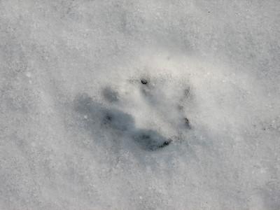 20070303 Mammal Tracks