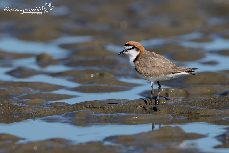 Red Capped Plover - Breeding Plumage