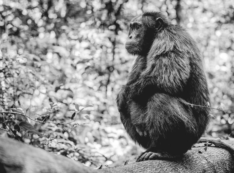 Uganda_T_Chimps-481.jpg