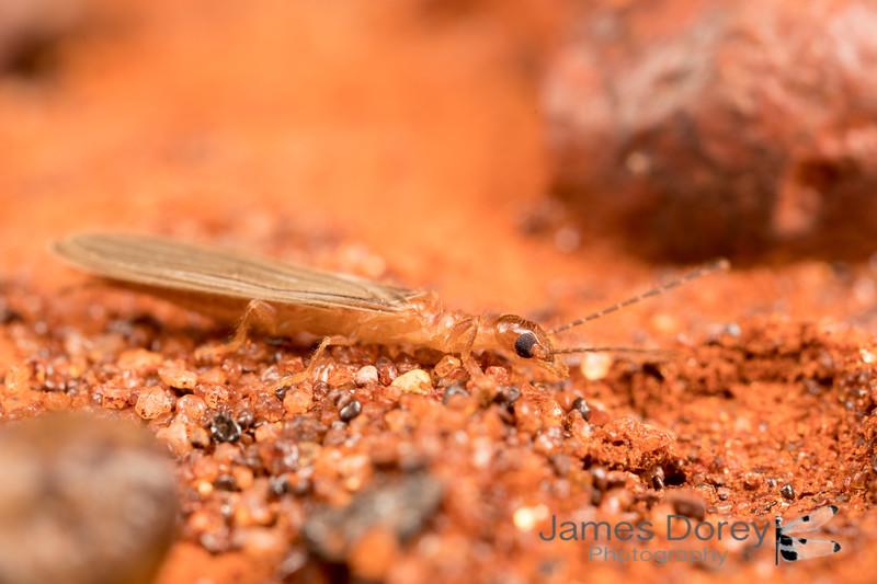 Web-spinner (Embioptera)