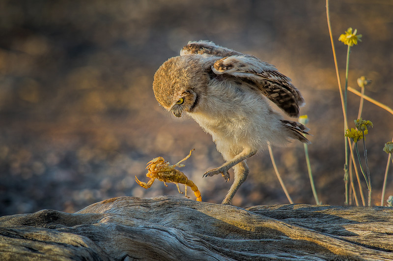 _LAX Burrowing Owl baby OPTO 2 0186