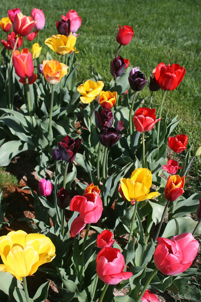 Tulips 2011 014.JPG