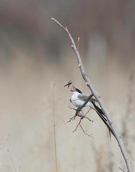 fork-tailed flycatcher eating grasshopper, rare bird, Connectucket