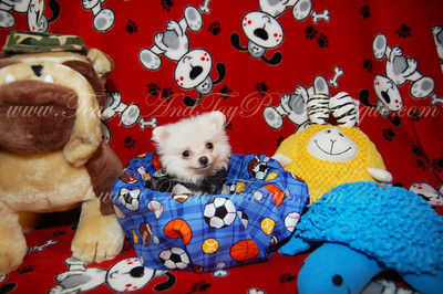 10. POMERANIAN ( Photo gallery of Previously Sold Puppies )