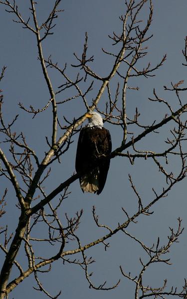 Port Susan Eagle Watch