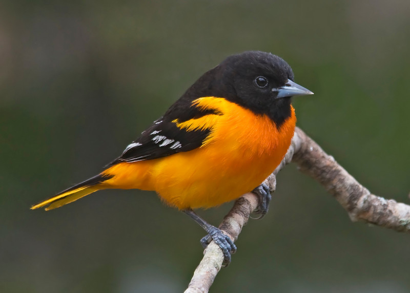 Oriole - Baltimore - male - Dunning Lake, MN - 03