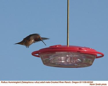 RufousHummingbirdM60342.jpg