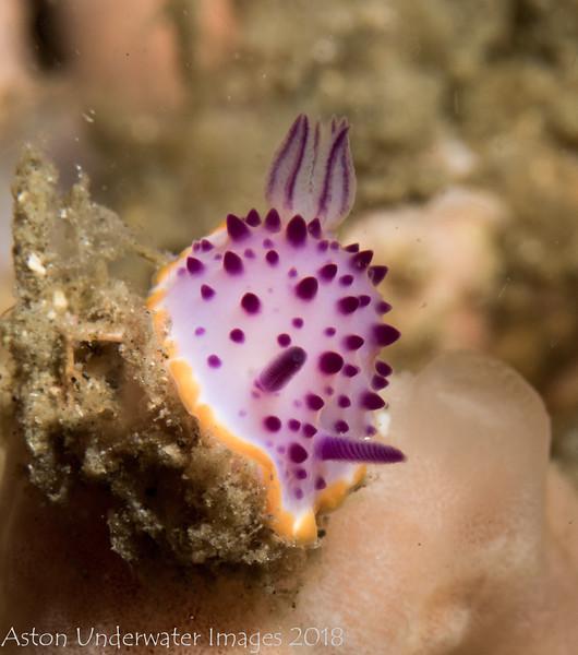 Mexichromis multituberculata