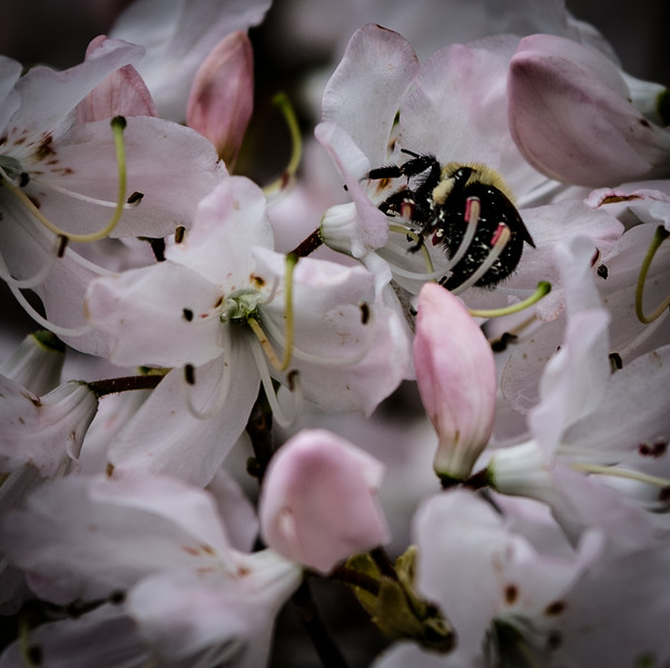 The Bee in the Azaleas