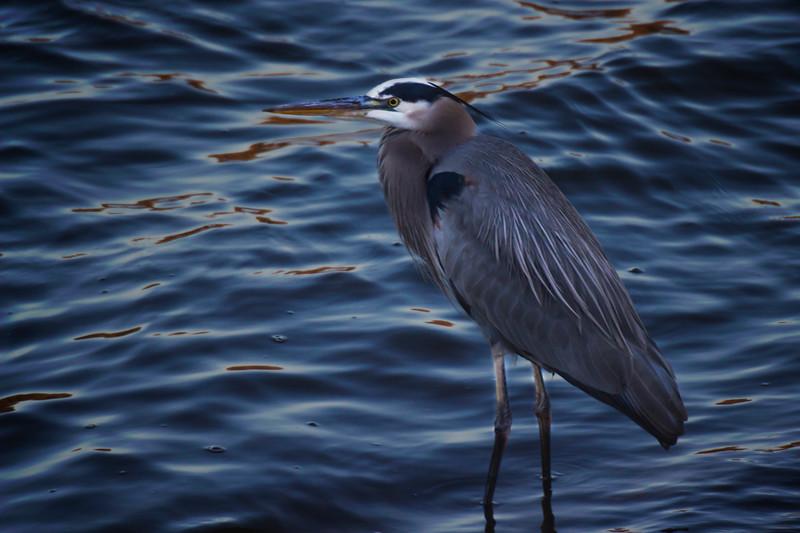 12.9.17 - Prairie Creek Marina: Great Blue Heron