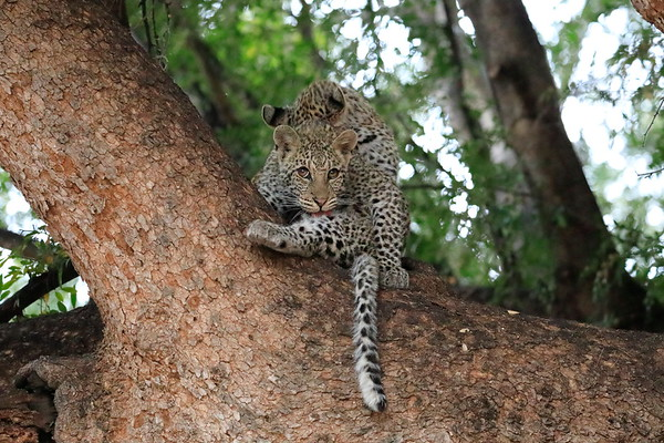 Young Leopards Mashatu Botswana 2017