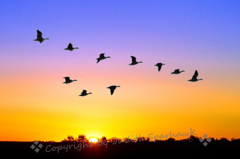 Snow Geese in a Rainbow Sky