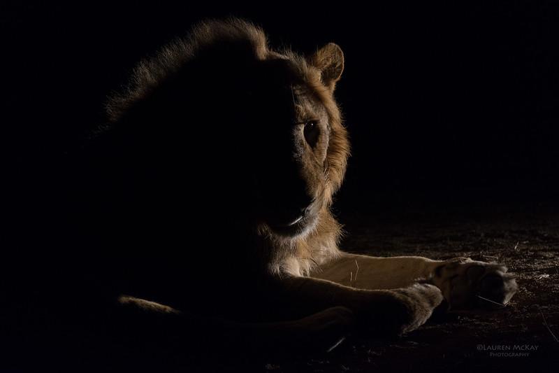 African Lion, Sabi Sands (EP), SA, Oct 2016-27.jpg