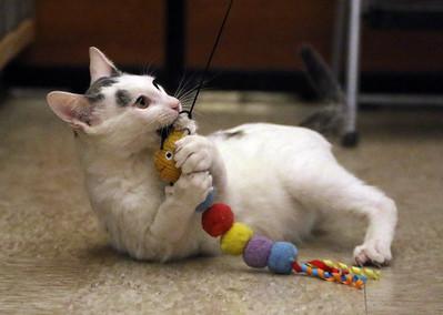 Cats for adoption at PetSmart 022920