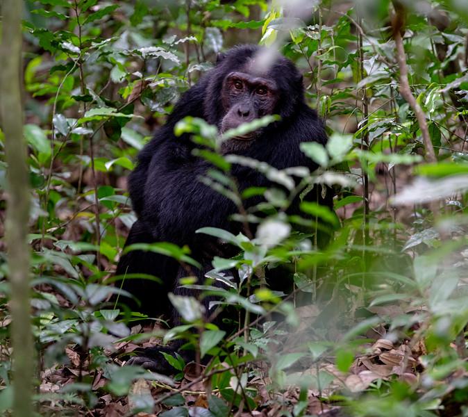 Uganda_T_Chimps-93.jpg