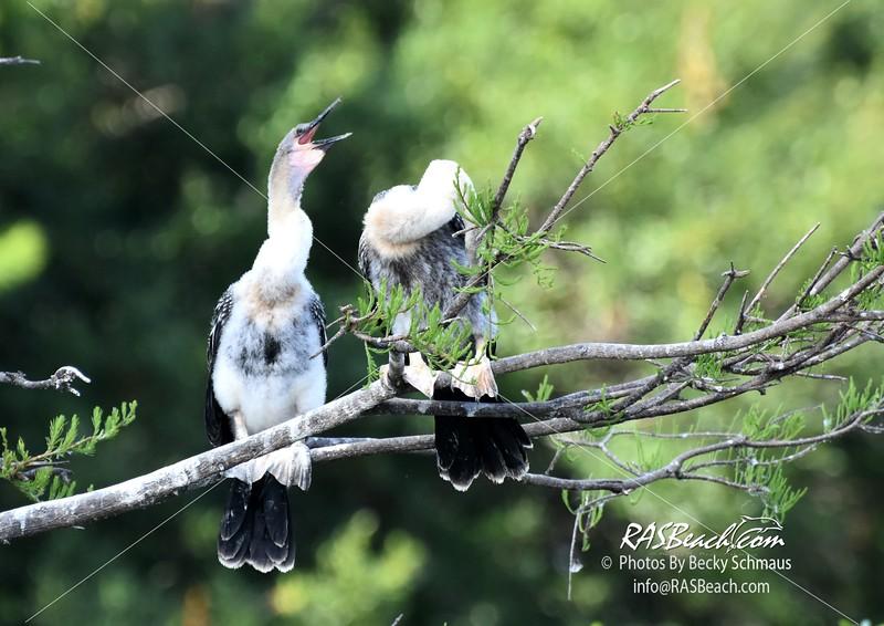 Juvenile Anhingas in the Wakodahatchee Wetlands
