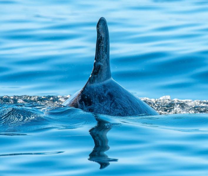 Risso Dolphins-3.jpg