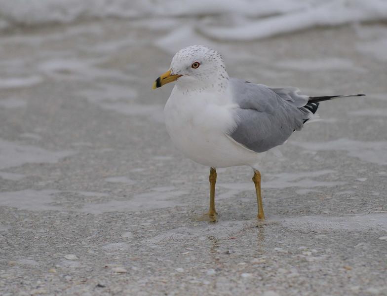 Gull.jpg