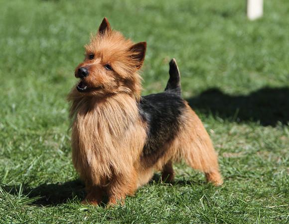 GCG Ch. Kambara's Zebulon - Australian Terrier