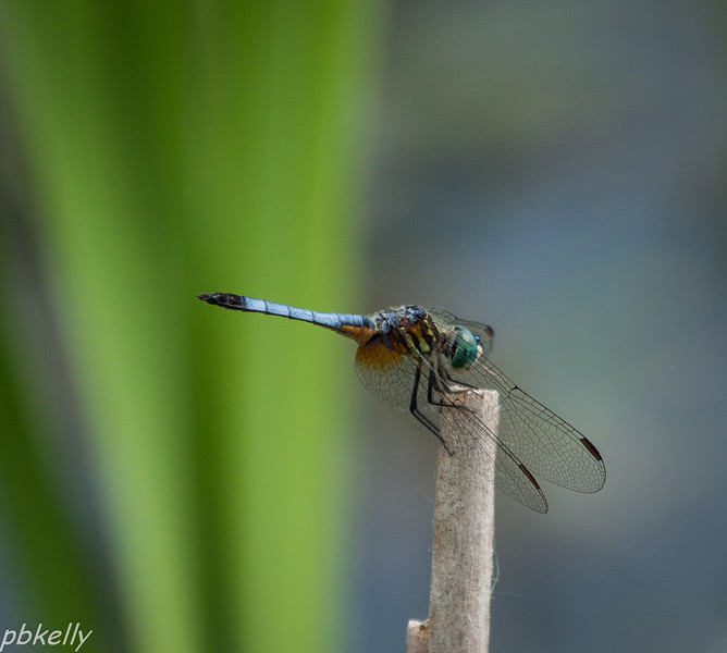 May 30.  Crook Street Wetlands.  Blue Dasher, Pachydiplax longipennis, one of the most common wetland dragonflies.  They pose, are an easy shot, and very attractive.
