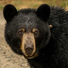 Image of Ursula taken May 2013.  Ursula was born in 2005.  Ursus americanus (American Black Bear).