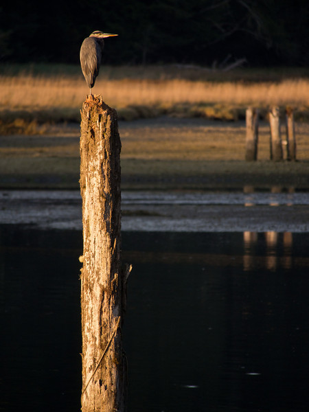 Great Blue Heron on a stick