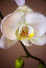 Close up of a beautiful white orchid.