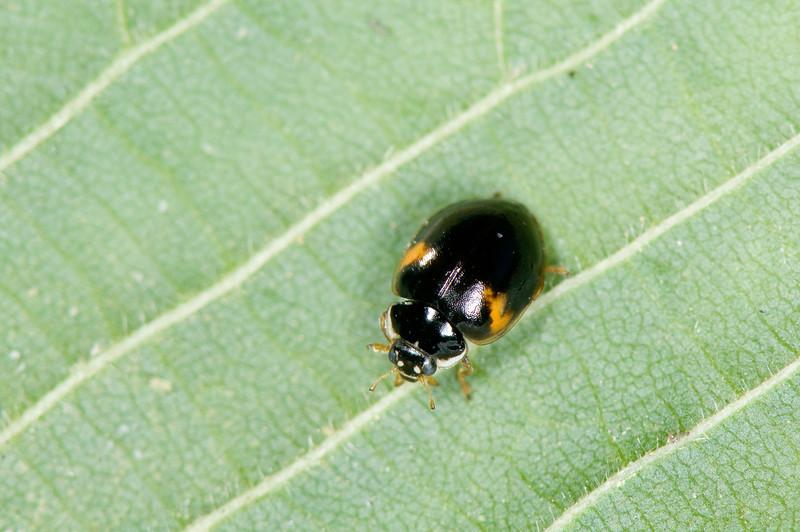 Adalia decimpunctata f.bimaculata
