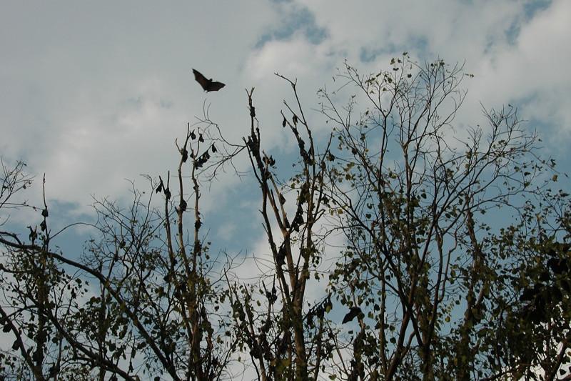 Fruit Bats - Battambang, Cambodia