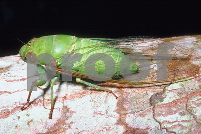 cicadas-and-their-enemy-cicada-killer-wasps-are-out-in-texas