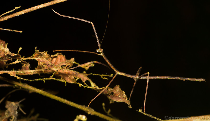 A well-camouflaged stick insect forages at night in Panama.