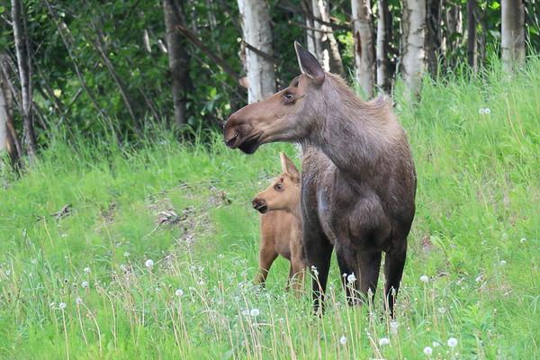 Wolf and Moose Alaska 2017