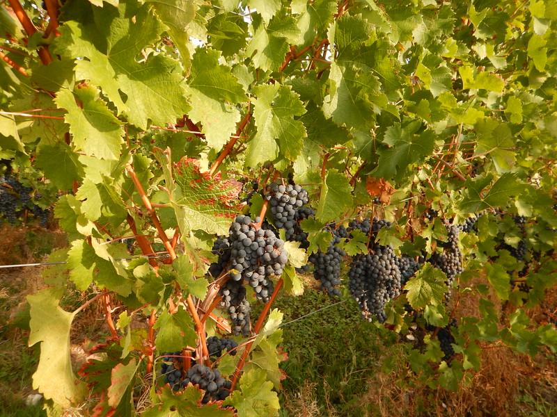 Grapes near Roman Villa.JPG