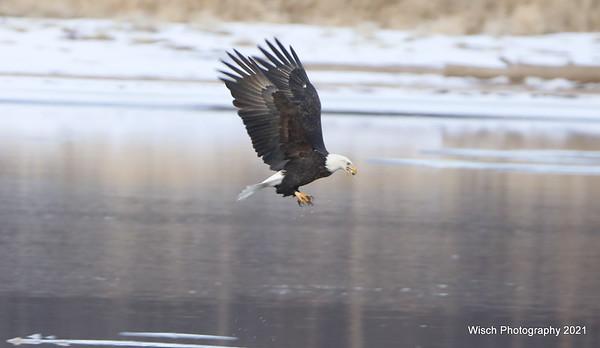 Eagle fishing Jan 2021