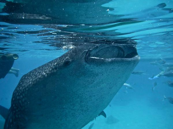 Oslob: Whale Sharks