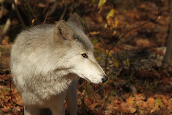 Lakota Wolf Preserve 2011