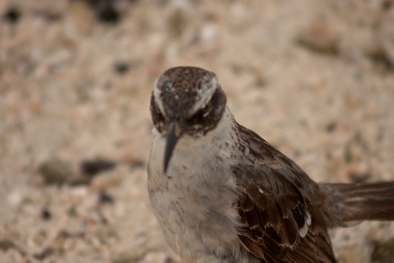 Sparrow Wing : Journey into Genovesa Island in the Galapagos Archipelago