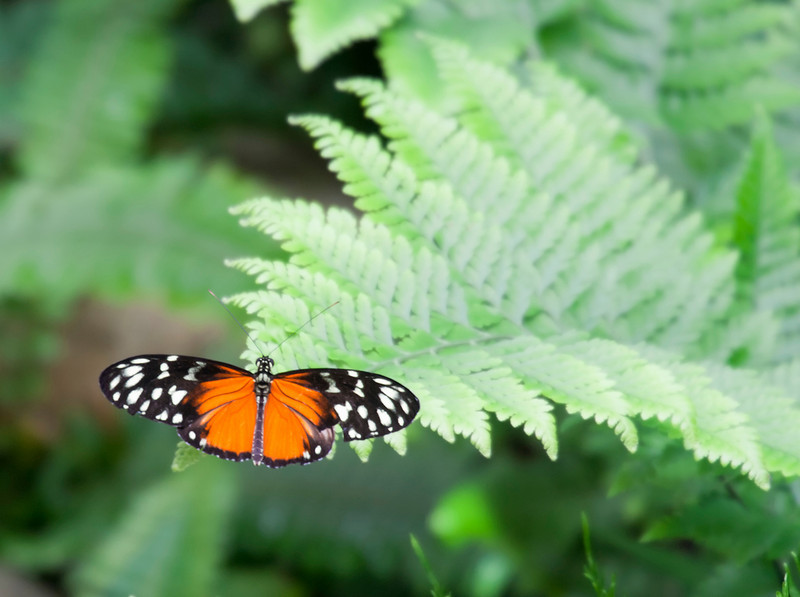 Golden Helicon on Fern – Heliconius Hecale in a Butterfly House