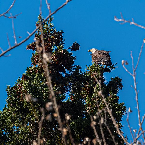 bald eagle in tree NS.jpg