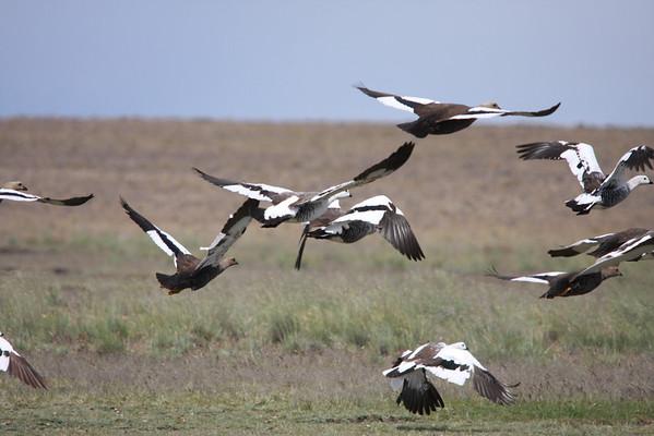 Caiquen, Upland Goose
