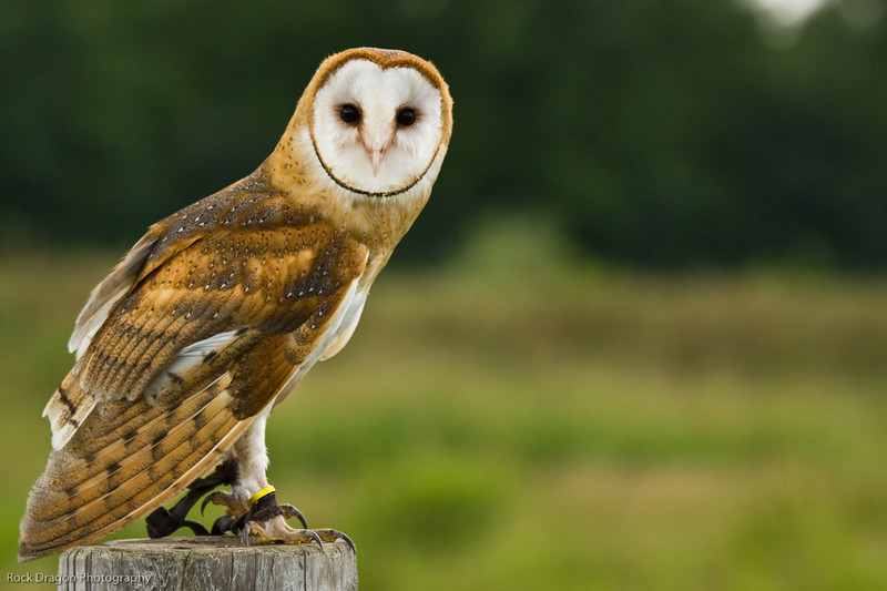 Barn Owl, African Lion Safari, Ontario Canada.