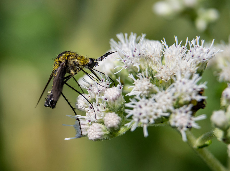 humpback-bee-fly-firestonepark2.jpg
