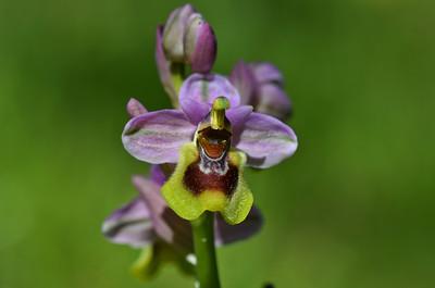 Sawfly Orchid (Ophrys tenthredinifera)
