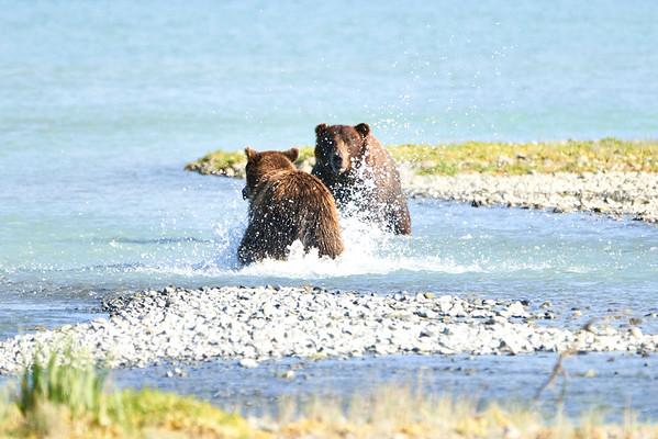 Brown Bear Boar Water Confrontation Katmai August 2020