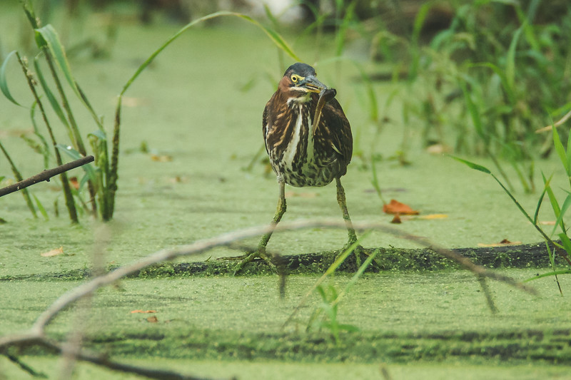 green heron fish cb 10-3.jpg