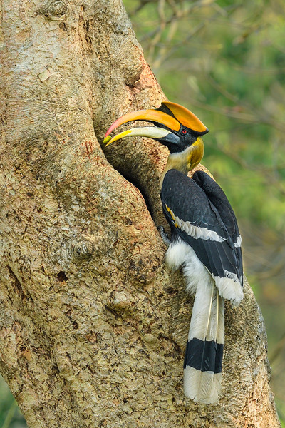 Great-hornbill-with-feed-kaziranga-3.jpg