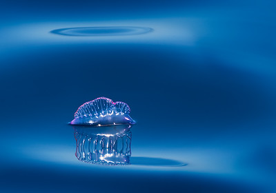 Award-winning Portuguese Man o' War