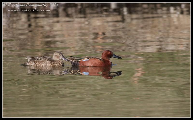 Cinnamon Teal pair, Santee Lakes, San Diego County, California, February 2014
